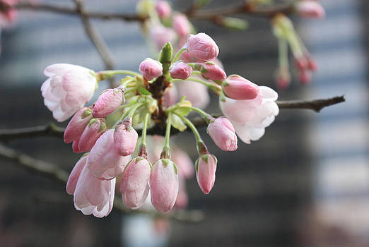 Buds of the Akebono Cherry by Gerry Bates
