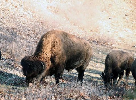 Buffalo by Al Blount