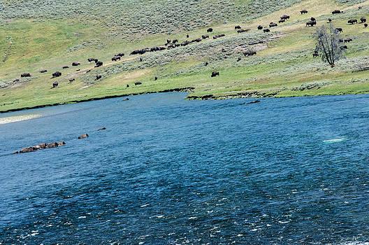 Randall Branham - Buffalo fording the Yellowstone