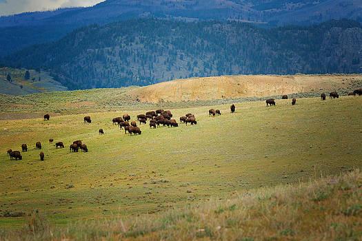 Roger Mullenhour - Buffalo Herd