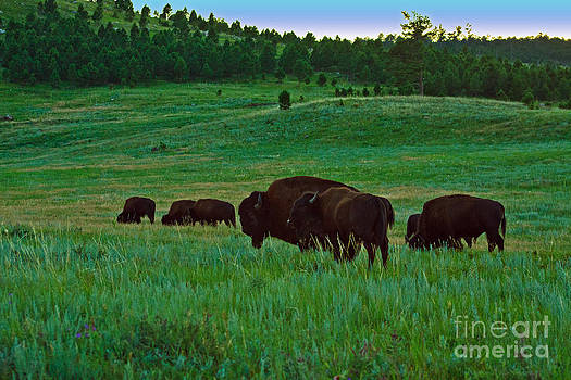 Buffalo in the Black Hills by Jamie Rabold