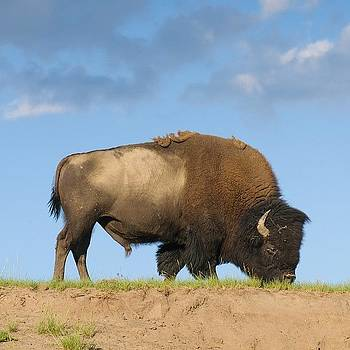Buffalo In Yellowstone Park by Jeffrey Banke