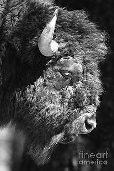 Buffalo Portrait by Robert Frederick