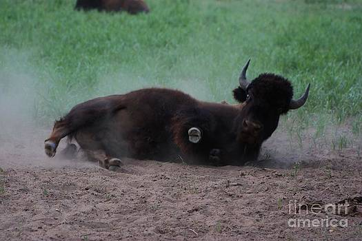 Buffalo Rolling and Dusting with Green grass by Robert D  Brozek