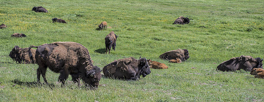 Thomas Schreiter - Buffalos