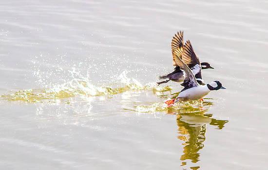 Buffel Head Ducks by Brian Williamson