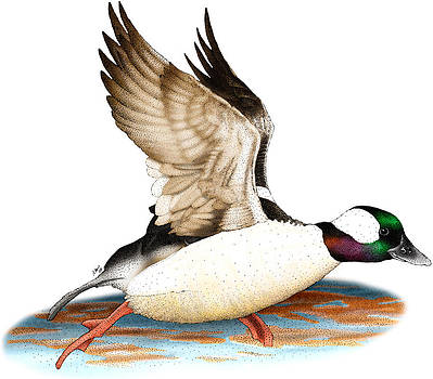 Bufflehead Drake by Roger Hall