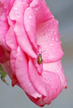 Bug On A Rose by Jennifer Kelly
