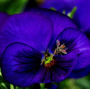Bugs on Pansy by Jamieson Brown