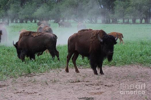 Bull Buffalo Guarding Herd with green grass by Robert D  Brozek