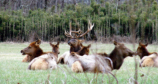 Bull elk and his girls by Mary Halpin