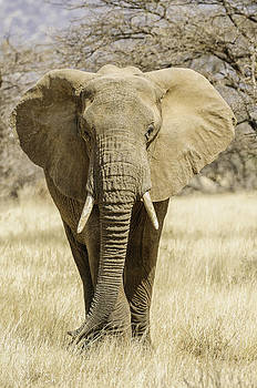 Bull Elephant by Thomas Chamberlin