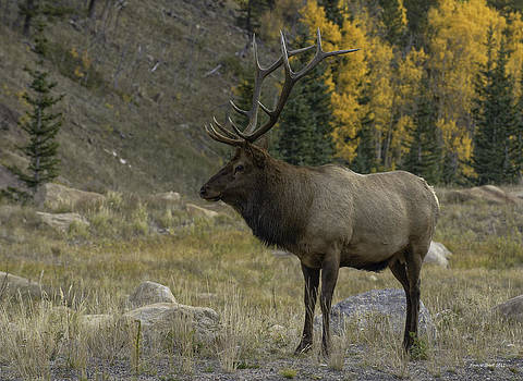 Bull Elk in Hidden Valley by Tom Wilbert