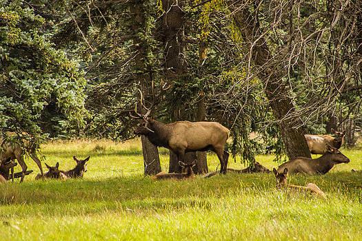 Bull Elk  by Kim Baker
