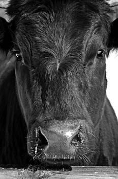 Bull Head by Stephanie Calhoun