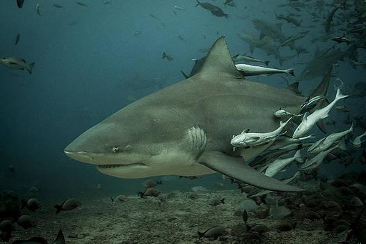 Bull Shark with Ramoras by J Gregory Sherman