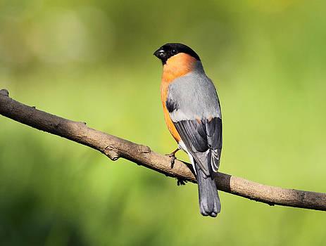 Bullfinch by Grant Glendinning