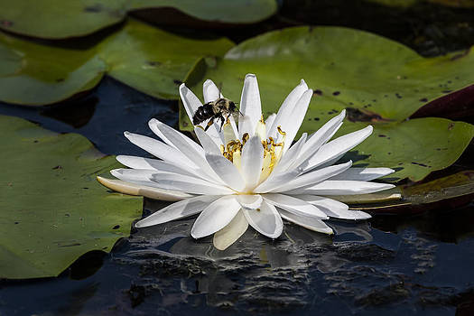 Terry Shoemaker - Bumble Bee and Water Lily