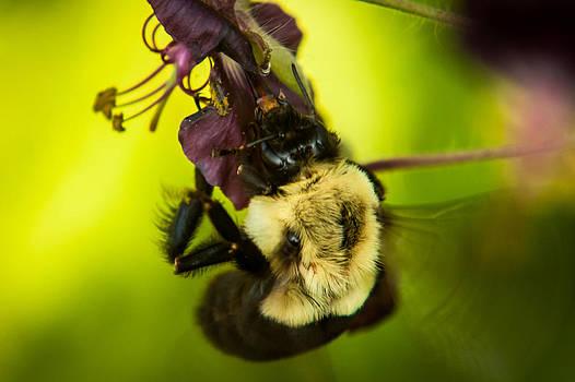 Matt Dobson - Bumble Bee Close-up