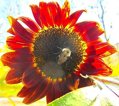 Bumble Bee in Sunflower by Kathryn Barry