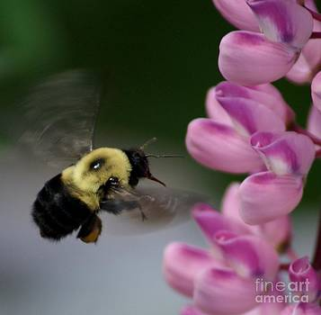 Gail Matthews - Bumble Bee on Lupines