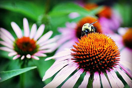 Bumble Bee On Pink Flower by Nicole  Lambert