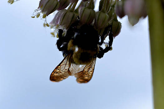 Bumble Bee waiting after a rain by Ivan Rijhoff