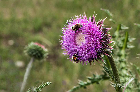 Mae Wertz - Bumble Bees