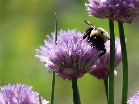 Bumblebee at work by Mary Vinagro