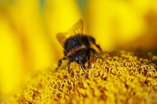 Bumblebee at work by Sergei Zinovjev