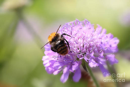 LHJB Photography - Bumblebee