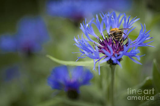 Bumblebee in Cornflowers by Donald Davis