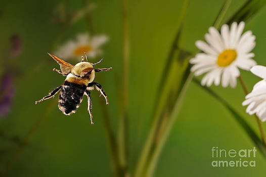 Scott Linstead - Bumblebee In Flight