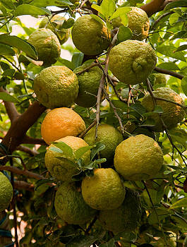 Devinder Sangha - Bunch of Oranges on tree