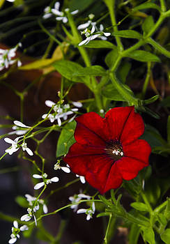 Burgundy Petunia by Greg Reed