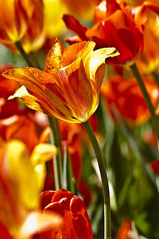 Tulips-Flowers-Tulips Burning by Matthew Miller
