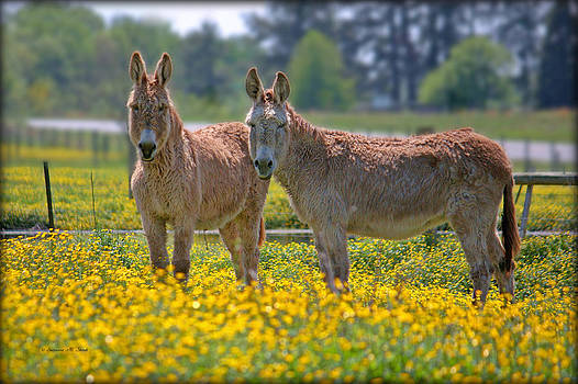 Burros in the Buttercups by Suzanne Stout