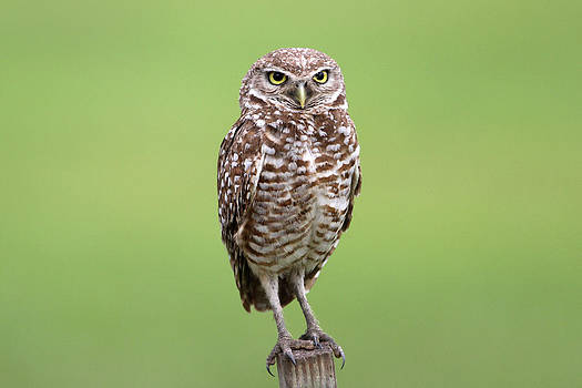 Burrowing Owl by John Rockwood