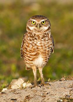Joshua Clark - Burrowing Owl