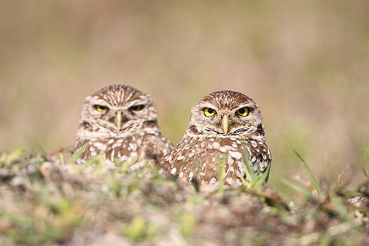 Burrowing Owl Pair by Brian Magnier