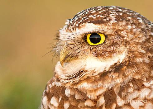 Joshua Clark - Burrowing Owl Portrait