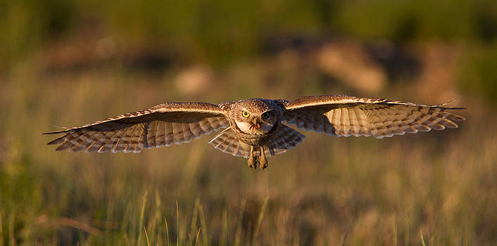 Burrowing Owl With Prey by Don Baccus