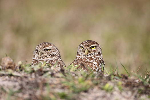 Burrowing Owls by Brian Magnier