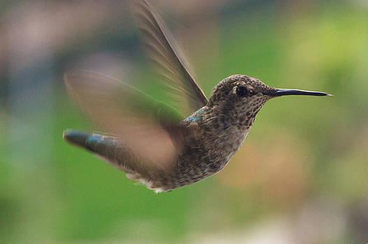 Busy Hummingbird by Dina Calvarese