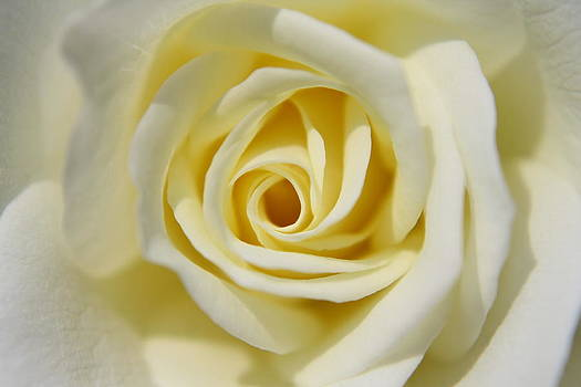 Butter Cream Rose by Judd Connor