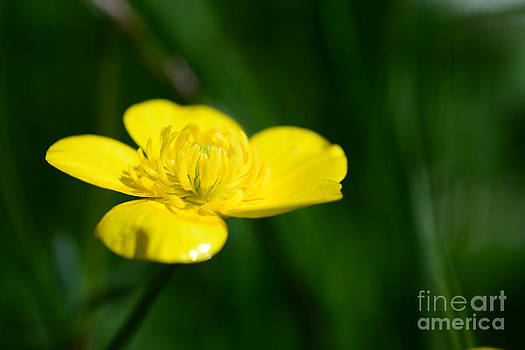 Buttercup In The Meadow by Hannes Cmarits