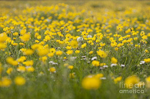 Anne Gilbert - Buttercup Meadow