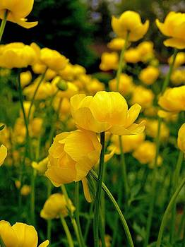 Buttercup by Vivian Markham