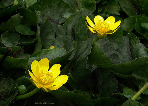 Buttercup beauties by Mikki Cucuzzo