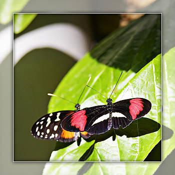 Butterflies 18b by Walter Herrit